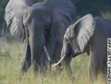 story.elephants.afp.gi.jpg