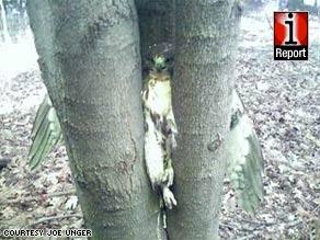 Hawk gets stuck in Arkansas